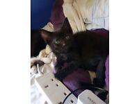 1 gorgeous female tabby kitten leftb