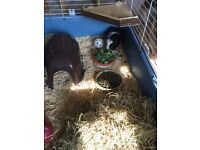 Pair of male Guinea pigs for rehoming