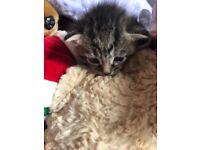 Beautiful tabby kitten for sale.