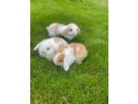 Miniature lop ear baby bunnies