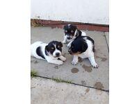 jack russel puppys