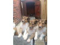 Pure bred Lassie Pups
