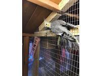 Baby cockatiel for sale