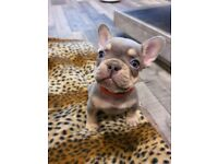 French Bulldogs For Sale - DNA Profile Done