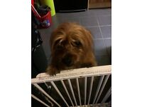 yorkie 18 months old £250ono