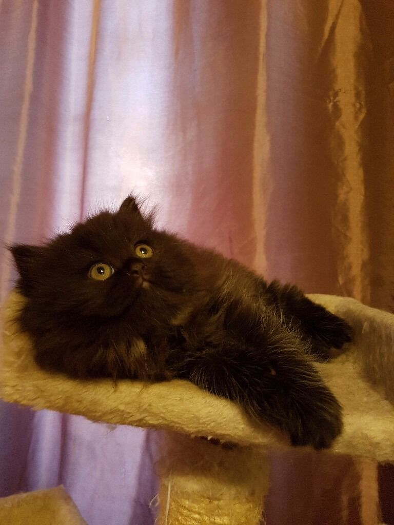 Doll face persian kittens for sale in Leytonstone London