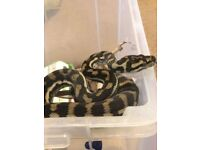 Juvenile Carpet Python Snake E