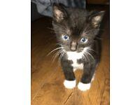 Beautiful black and white kitten