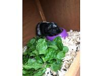 Female Guinea Pig With Hutch