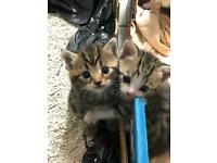 Stunning silver tabby and mixed breed kittens both female and Male available