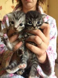 Kittens (not ready yet)