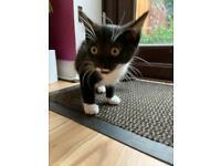 Gorgeous Kittens Available Now - Black & White & Black