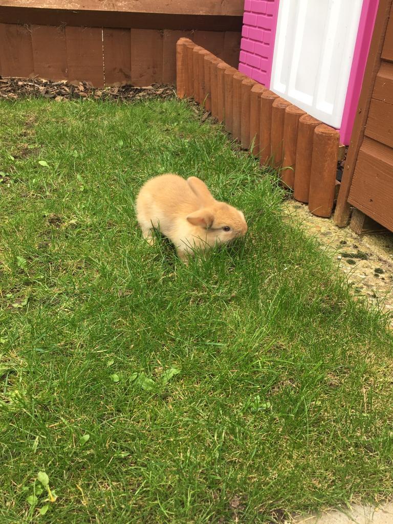Caramel baby bunny