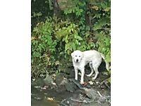 Lost or stolen white golden retriever male 14 months