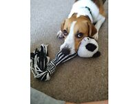 1 year old Male Beagle