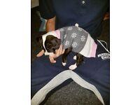 12 week old puppy dog de borex cross amercian bulldog very loving playful puppy
