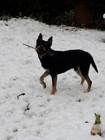 Husky x rottweiler 1 year 4 months