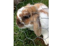 Male rabbit approx 18month old