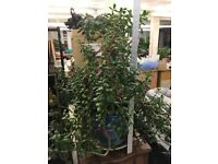 Large Money Plant.