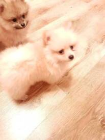 Pomeranians, Pure Breed, KC, REDUCED TO 1200, 3 Poms left