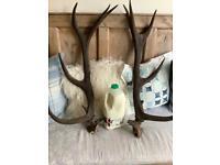 Large pair of red deer antlers