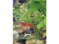 Red cherry shrimp and assassin snails