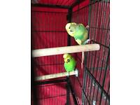 2 male budgies NOT HAND TAME