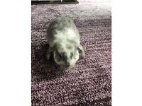 Mini lop rabbit for sale Ready now