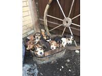 Beagle basset hound puppies