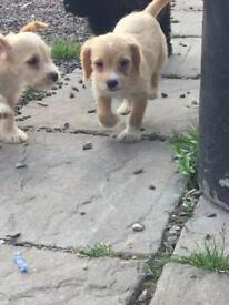 Poogle puppies (poodle x beagle)
