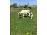 2 Shetland ponies both approx 10hh