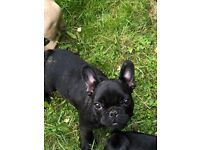 French bulldog puppy ready to leave full pedigree very soft and gentle fully vaccinated