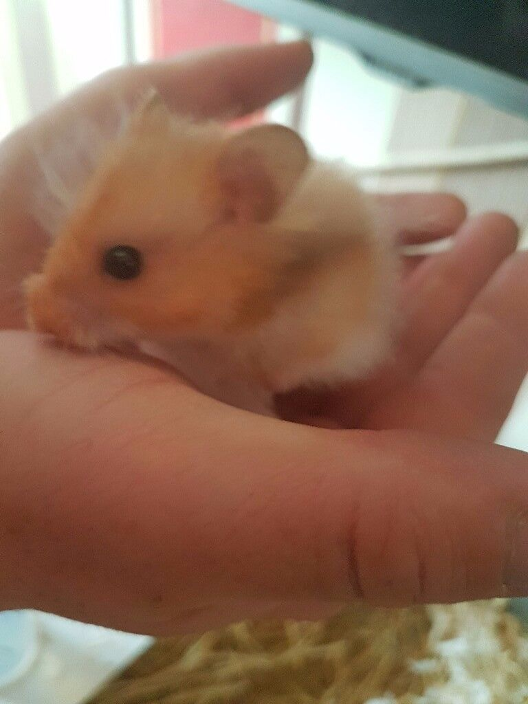 Long haired syrain hamster with cage and accessories