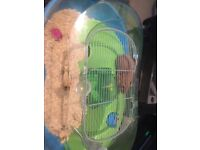 2 hamsters in separate cages
