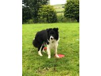 Border collie   Dogs & Puppies for Sale - Gumtree