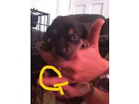 Mixed Breed Puppies Ready 27th August