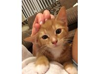 Beautiful Tiger Ginger Male Kitten & EVERYTHING for him