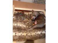Blue Staffordshire Bull Terrier Puppies for sale-Pedigree & KC Reg.