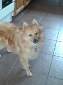 Pomeranian/spitz