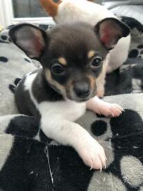 Chihuahua X Puppies (2 boys)