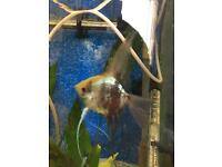 Large female angel fish