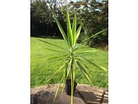Indoor House/Office Yucca Elephantipes Plant Appx 70~80cm