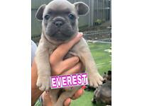 BEAUTIFUL KC REGISTERED French Bulldog