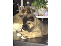 7 American Akita puppies Champion bloodline, best in the Uk ready to leave