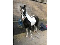Black and white Cob 16hh Gelding