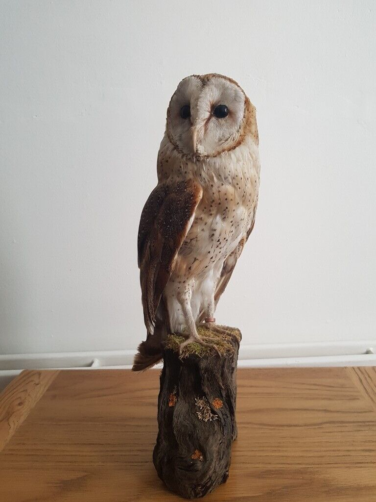 American barn owl | in Belfast City Centre, Belfast | Gumtree