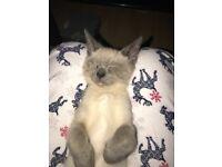 5 month old Simease X Mancoon Kitten