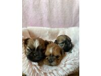Shihtzu X imperial karashishi shihtzu puppies