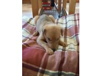 Lurcher pups only 3 left