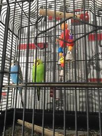 Two budgies,cage,food,wood chips
